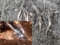 Quản lý tuyến trùng và rệp sáp hại hồ tiêu