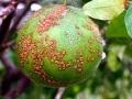 Bệnh ghẻ trên cây có múi - triệu chứng và biện pháp phòng trị