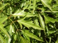 Kỹ thuật trồng và chăm sóc đinh lăng
