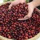 Xuất khẩu cà phê 3 tháng đầu năm 2017 đạt 1 tỷ USD