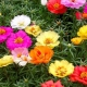Đỡ độc hại, tốn tiền nhờ trồng hoa mười giờ dưới gốc cam