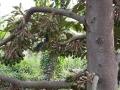 Biện pháp quản lý hiện tượng rụng trái non trên cây sầu riêng giai đoạn chuyển mùa