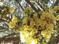 Khắc phục hiện tượng sốc nhiệt sầu riêng gây rụng hoa và trái non