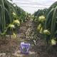 Ứng dụng dòng sản phẩm phân bón hữu cơ sinh học Wokozim thế hệ mới vào giai đoạn chong đèn trên Thanh Long giúp tăng tỉ lệ ra nụ khi thời tiết khắc nghiệt