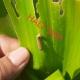 Kiểm soát sâu keo mùa thu Spodoptera frugiperda bằng thuốc trừ sâu sinh học Halt 5WP