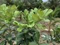 Khắc phục hiện tượng vàng lá trên cây bưởi
