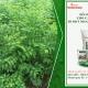 Canh tác cây rau ngót thu hoạch liên tục năng suất cao với phân bón hữu cơ sinh học Wokozim