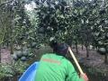 Bón phân cho cây cam trong giai đoạn hạn mặn và sau hạn mặn