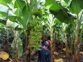 Phân bón hữu cơ sinh học Wokozim gắn bó với vùng trồng chuối xuất khẩu thế nào