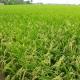Lá đòng có ảnh hưởng như thế nào đến năng suất cây lúa