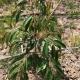 Cách chăm sóc cây sầu riêng mới trồng