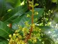 Giải pháp khắc phục tình trạng  nghẹn mầm bông và tăng khả năng đậu trái cho cây xoài với phân bón hữu cơ sinh học Wokozim