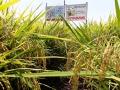 Cải tạo đất phèn cho vùng đất trồng lúa Đồng Bằng Sông Cửu Long giảm phân hóa học vụ Đông Xuân