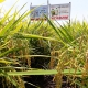 Sản phẩm NPK- Organic cho vùng lúa nếp chuyên canh
