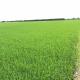 Giải pháp bảo vệ cây lúa vụ Hè Thu