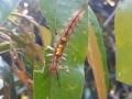 Quản lý sâu lông lưng vàng trên cây sầu riêng bằng sản phẩm thuốc trừ sâu sinh học Halt 5WP