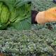 Quản lý sâu hại trên bắp cải bằng thuốc trừ sâu sinh học HALT 5WP – hiệu quả vượt trội, nông sản an toàn
