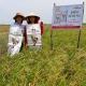 Quy trình sử dụng phân bón NPK công ty Vinhthinh Biostadt cho vùng lúa chuyên canh 3 vụ