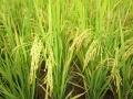 Giảm thất thoát lượng đạm trong canh tác lúa