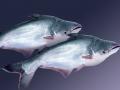Bổ sung acid amin làm giảm hàm lượng protein trong thức ăn cá tra