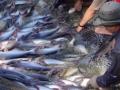 Đưa ao nuôi cá tra Việt Nam lên bản đồ Google