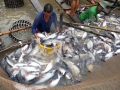 Diện tích thả nuôi cá tra đạt gần 4.000 ha