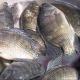 Mỹ: Nhu cầu cá rô phi có khả năng tăng