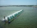 Gây màu nước và tầm quan trọng của khâu gây màu nước đối với ao nuôi tôm sú