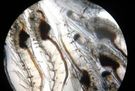 Vinhthinhbiostadt vannamei Post Larvae