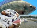 Vaccine mới có thể chống lại hầu hết các bệnh thường thấy trên cá rô phi