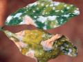 Kinh nghiệm phòng ngừa bệnh phấn trắng trên cây cao su