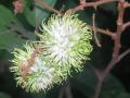 Sulfex 80WG - Giải pháp phòng ngừa bệnh phấn trắng trên cây chôm chôm