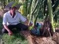 Giải pháp phục hồi rễ Thanh long sau ngập úng