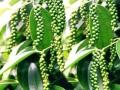 Wokozim phục hồi vườn tiêu thiếu dinh dưỡng