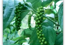 Phân bón hữu cơ sinh học Wokozim trên hồ tiêu