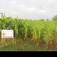 WOKOZIM bổ sung trong công thức bón phân cho cây bắp