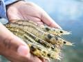 Ứng dụng hiệu quả enzyme trong nuôi thủy sản