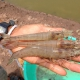 Whileleg shrimp exports jumps across black tiger shrimp